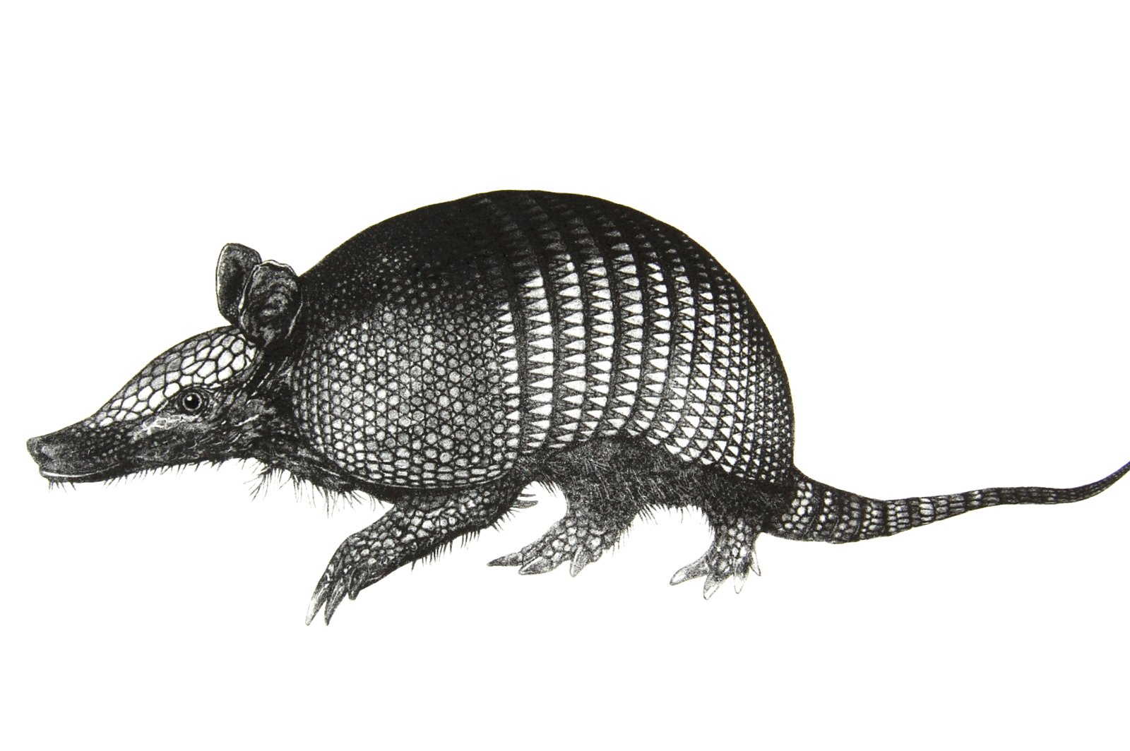 how to catch an armadillo by hand