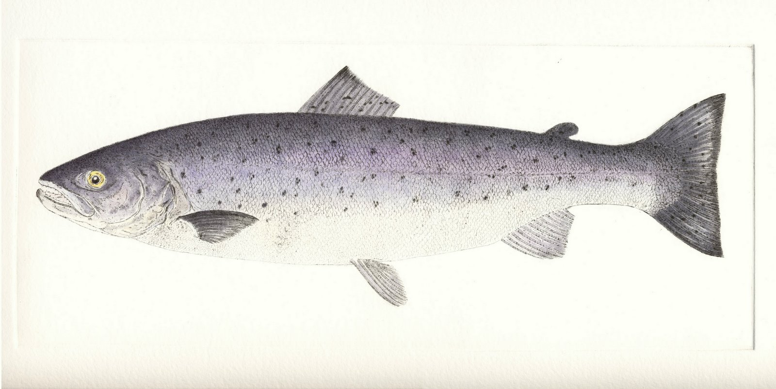 http://www.debbymason.com/catalogues/MyWork/graphics/products/high/SeaTrout_IOM.jpg