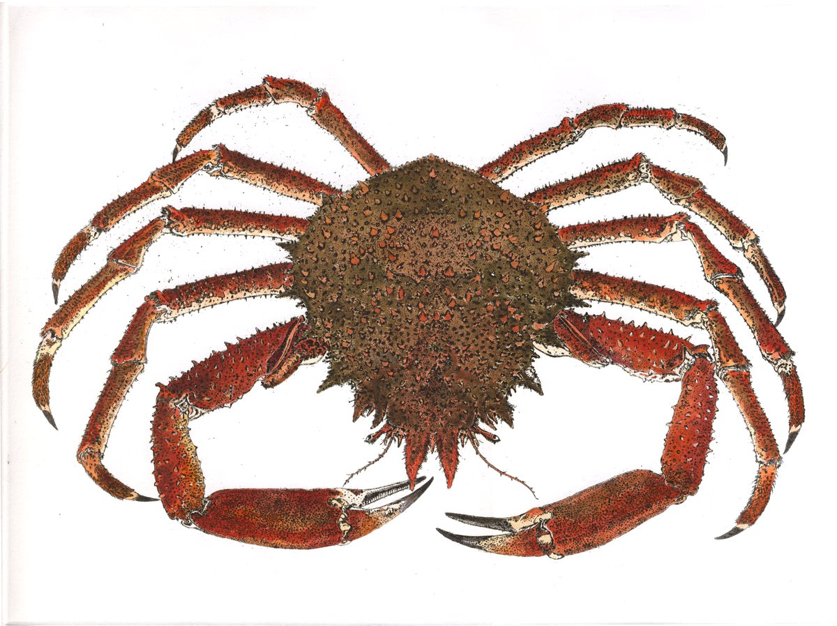 Spider Crab - Crustaceans Hand Coloured Etching Print by Artist Debby ...
