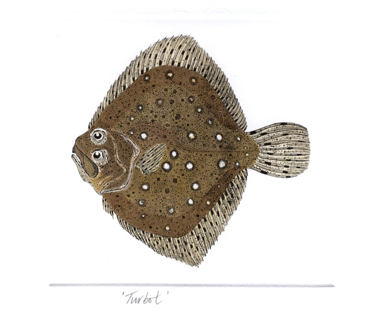 Turbot Salt Water Fish Uk Hand Coloured Etching Print