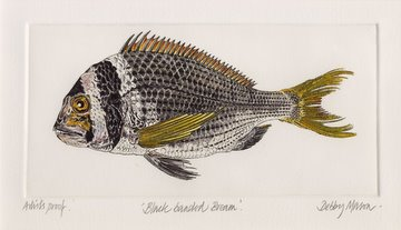Black Banded Bream in 'Coral Seas'