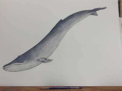 Blue Whale in 'Cetaceans'