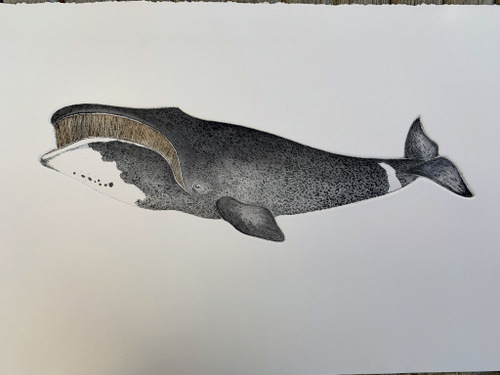 Bowhead Whale in 'Cetaceans'