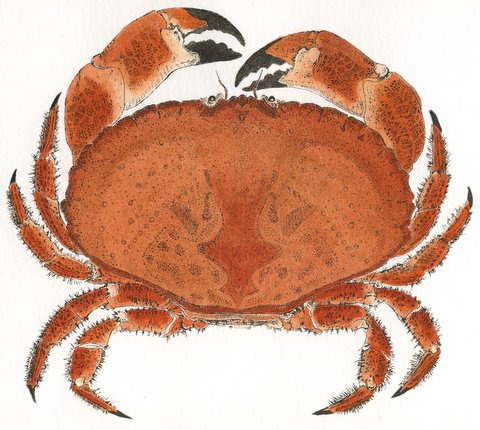 Brown Crab (IOM) in 'Crustaceans'