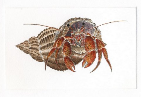 Hermit Crab II in 'Crustaceans'