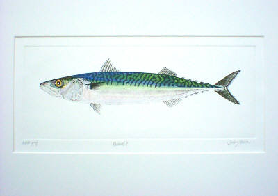 Mackerel II in 'Salt Water Fish (UK)'