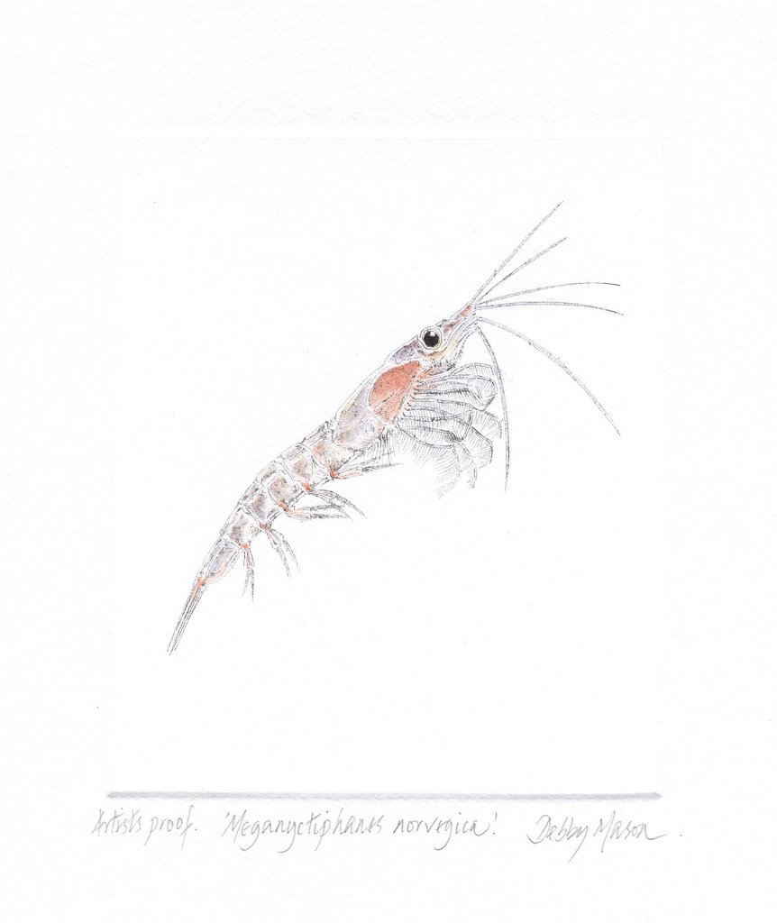 Meganyctiphanes norvegicus (Krill) in 'Plankton'