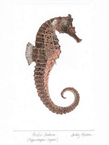 Pacific Seahorse (Hippocampus ingens) in 'Sea Horses'