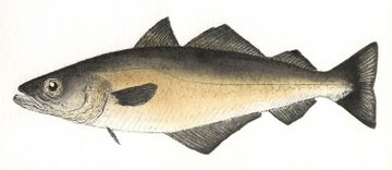 Pollack (IOM) in 'Salt Water Fish (UK)'