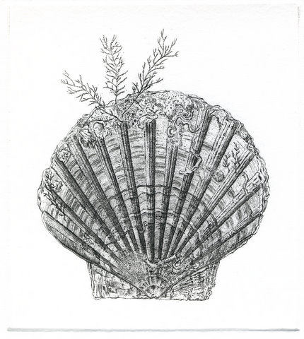 Scallop (From 'The Game Cook')
