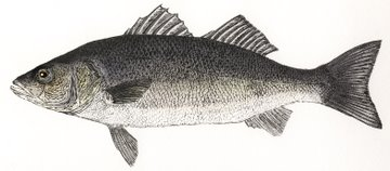 Sea Bass (IOM) in 'Salt Water Fish (UK)'