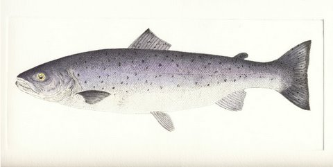 Sea Trout (IOM) in 'Salt Water Fish (UK)'