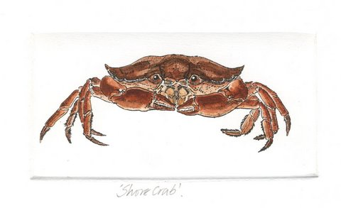 Shore Crab in 'Crustaceans'