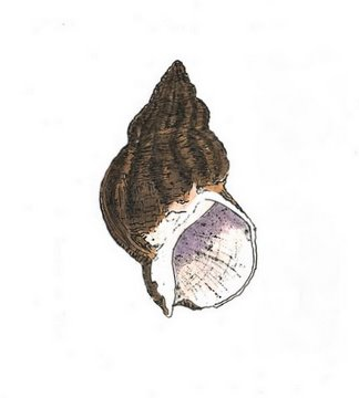 Whelk in 'Molluscs'