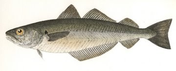 Whiting (IOM) in 'Salt Water Fish (UK)'