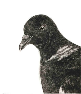 Woodpigeon (From 'The Game Cook') in 'Birds'