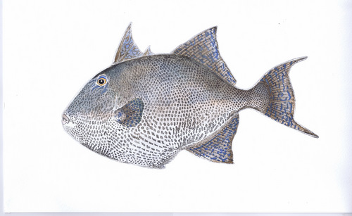 Grey Triggerfish in 'Salt Water Fish (UK)'