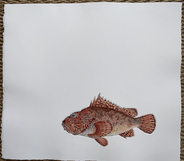 Scorpion Fish in 'Salt Water Fish (UK)'