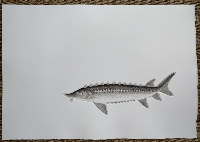 Sturgeon in 'Salt Water Fish (UK)'